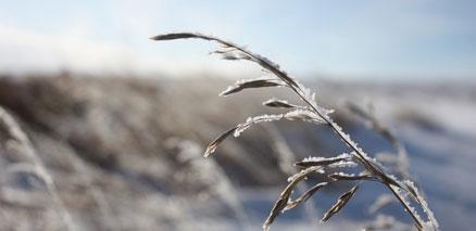 Prairie grass in winter closeup